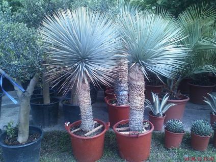 Palme Yucca Rostrata Höhe 200 cm Winterhart bis -19 Grad Premium Qualität