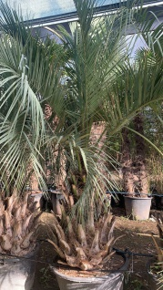 Palme Butia Eriospatha HÖHE 3 Meter Winterhart -15 Grad Geleepalme Premium
