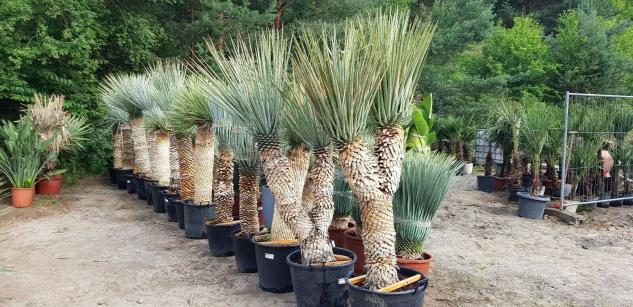 Palme Yucca Rigida Höhe 230 cm Winterhart bis -19 Grad Premium Qualität