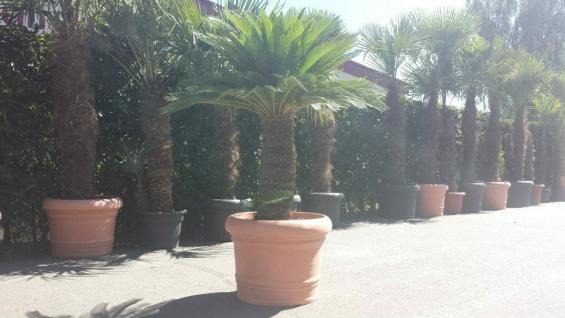 Palme Cycas Revoluta Höhe 200 cm Winterhart -8 Grad Premium Qualität