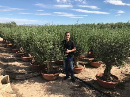 Olivenbaum Safaris Bonsai Höhe ca. 150 cm Olea Europaea Premium Qualität