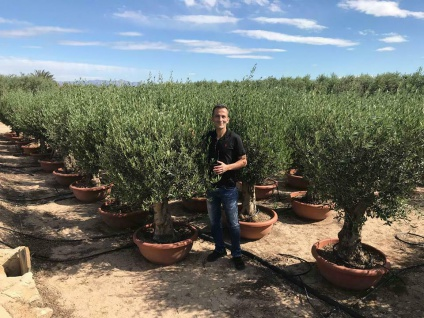 Olivenbaum Safaris Bonsai Höhe ca. 180 cm Olea Europaea Premium Qualität