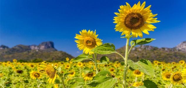 Sonnenblumen Feld Landschaft Blumen Tasse T1818 - Vorschau 2
