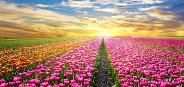 Tulpen Feld Sonnenuntergang Tasse T1861 - Vorschau 2