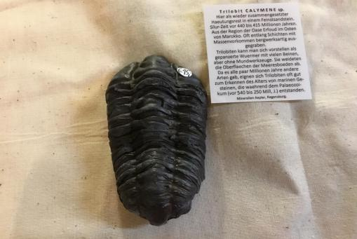 Trilobit Calymene