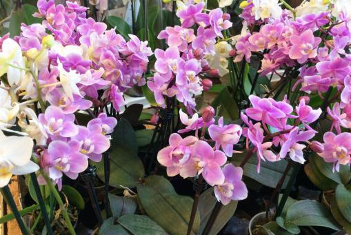 beliebte Orchideensorten